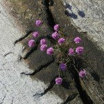 Purple flowers grow within crevice of a sidewalk