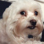 Closeup of white poodle with beady eyes